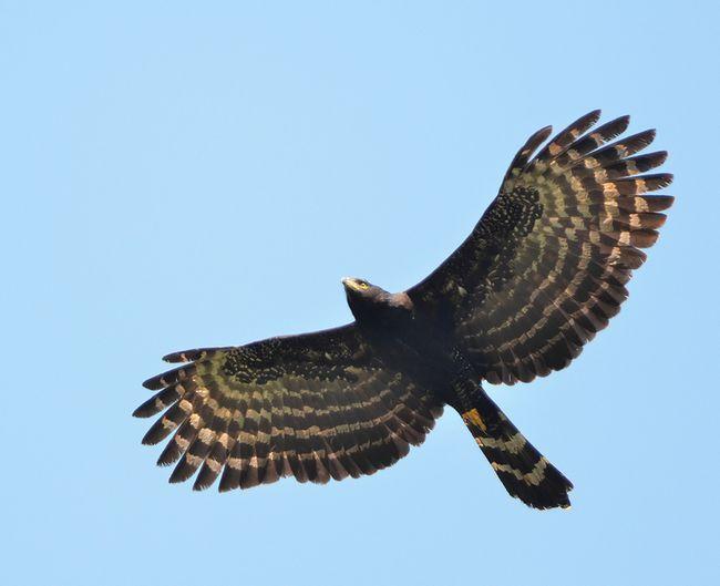 Черный ястреб – орел обитает под пологом леса