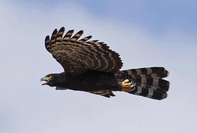 Черные орлы - ястребы охотятся в основном на птиц и млекопитающих