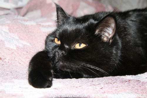 Britanski crna mačka fotografija