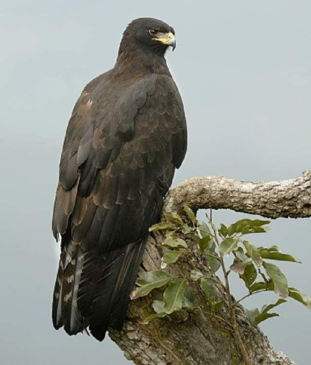 Черный орел (Ictinaetus malayensis).