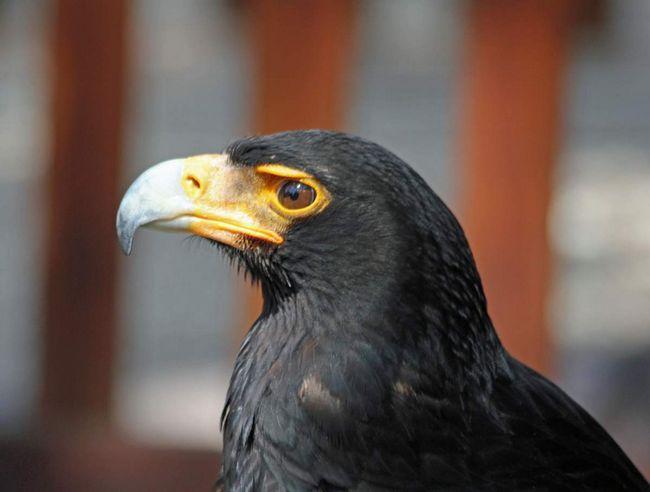 Птица известна пристрастием к питанию птичьими яйцами.