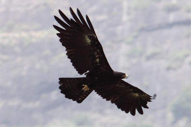 Черный орел – эндемик тропической Азии.