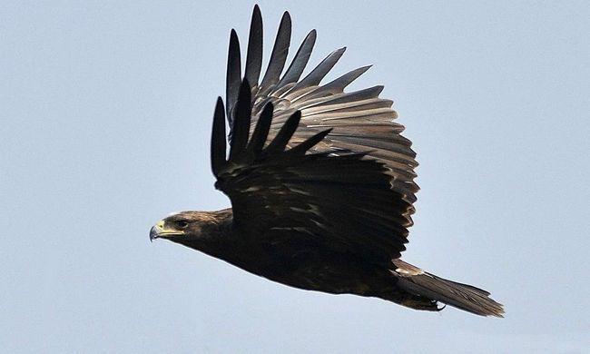 Черный орел отыскивает добычу, летая низко над поверхностью земли.