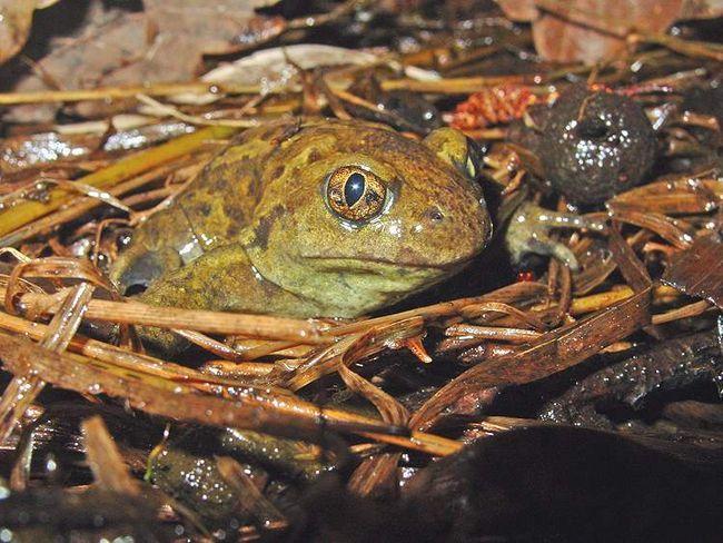 Pet - žaba žaba Zajednički (Pelobates fuscus)