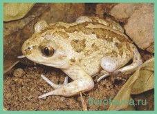 Frog / Pelobates fuscus