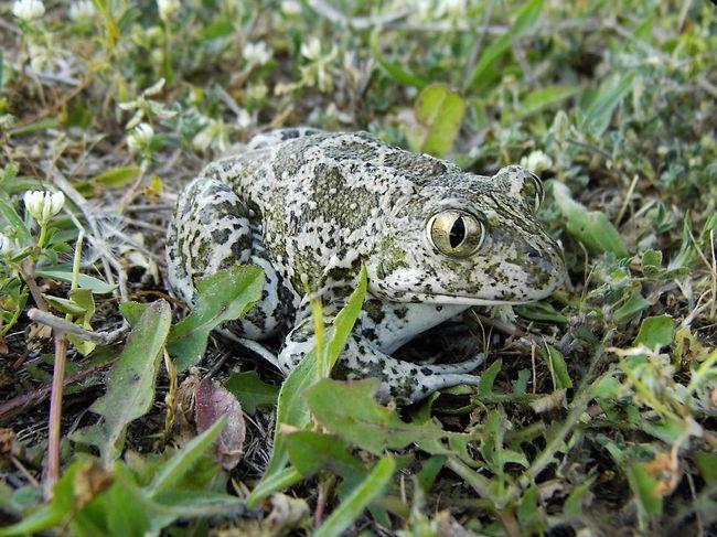 Sirijske žaba (Pelobates syriacus).
