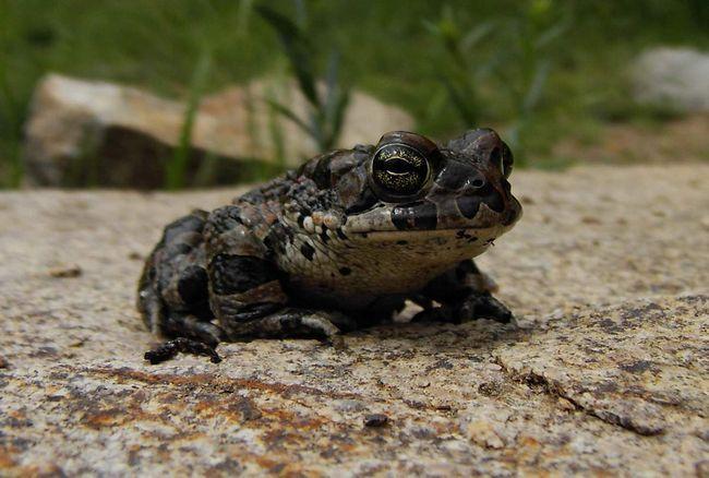 Sirijske žaba jede mekušce, insekata i crva.