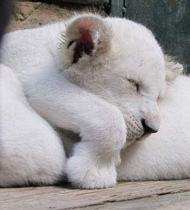 Četiri white lion cub rođen na Krimu.