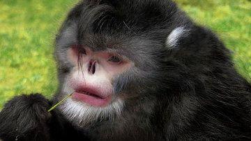tupým nosem opice Rhinopithecus strykeri