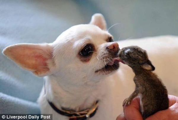 Chihuahua je postao otac usvojitelj pet novorođenih zečeva