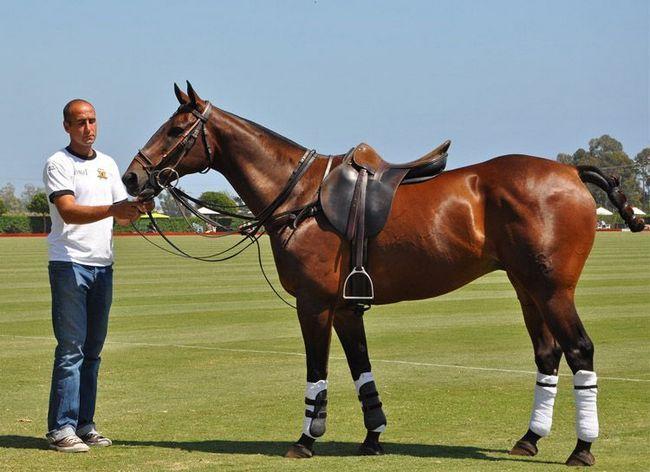 Чистокровная верховая лошадь в спортивной экипировке