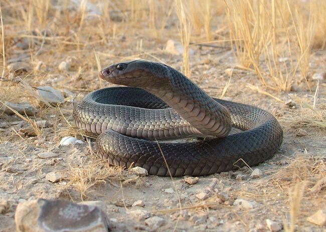Black Cobra (Walterinnesia aegyptia)