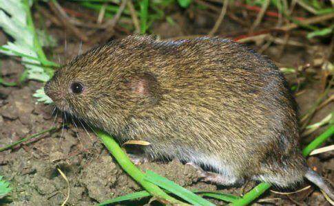 Fotografie myš vole v tráve