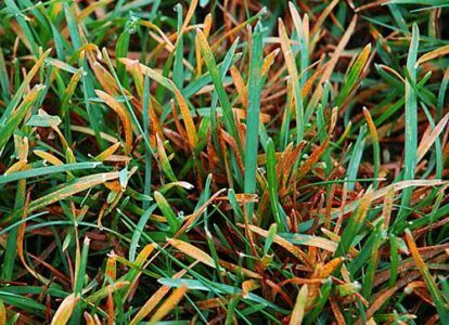 Rumena rja na travniku