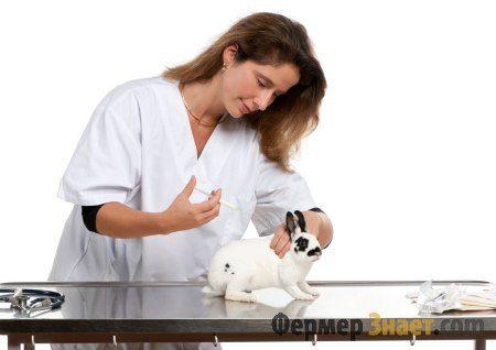 Ветеринар делает кролику вакцинауию против ВГБК