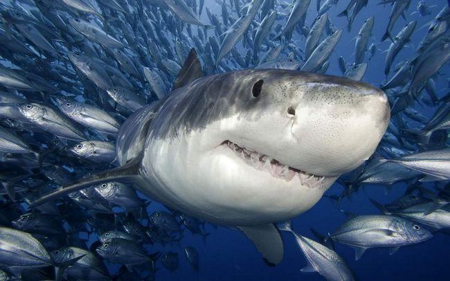 Morski psi ne bezubi.