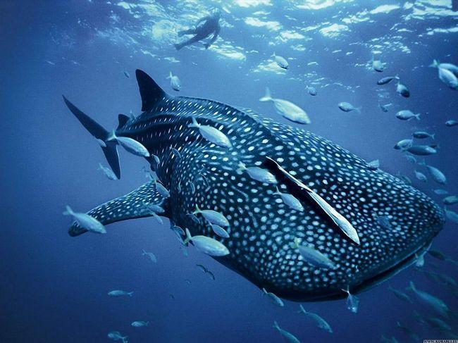 Shark u večnoj pratnji male ribe.