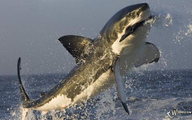 Sharks - ovih morskih predatora.