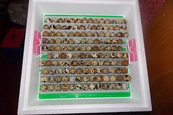 Bookmark prepelica jaja u inkubatoru