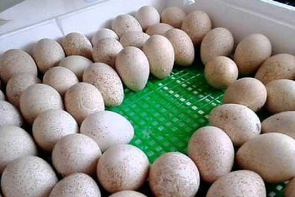Закладка куриных яиц в инкубатор