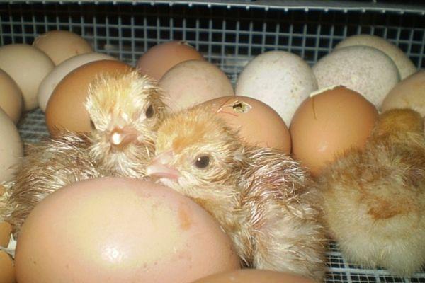 Цыплята, выведенные в домашнем инкубаторе