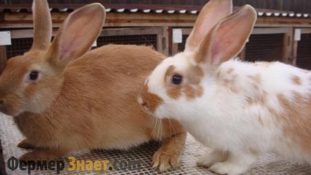 Что следует знать о спаривании кроликов
