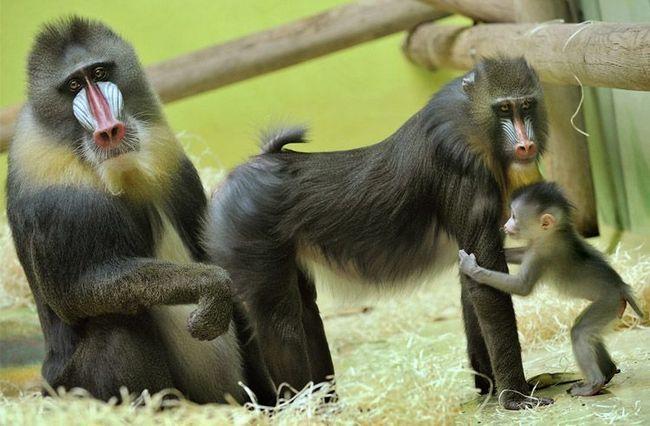 16-летний мандрил Пабло с 10-летней самкой Зорой и их общим месячным детенышем.
