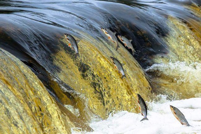 Sirt živi samo u čistim vodama.