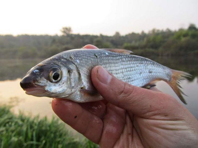 Male ribe koje su uhvaćeni na udica, se oslobađa natrag u vodu.