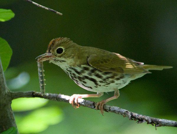 Чтобы обезопасить свои гнёзда, птицы ``подслушивают`` разговоры хищников
