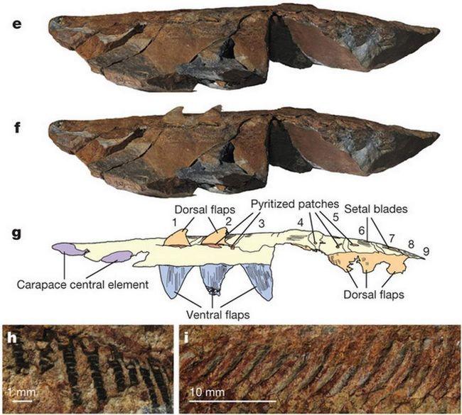 Fosili u Maroku, rekavši da je to stvorenje je predak moderne člankonožaca.
