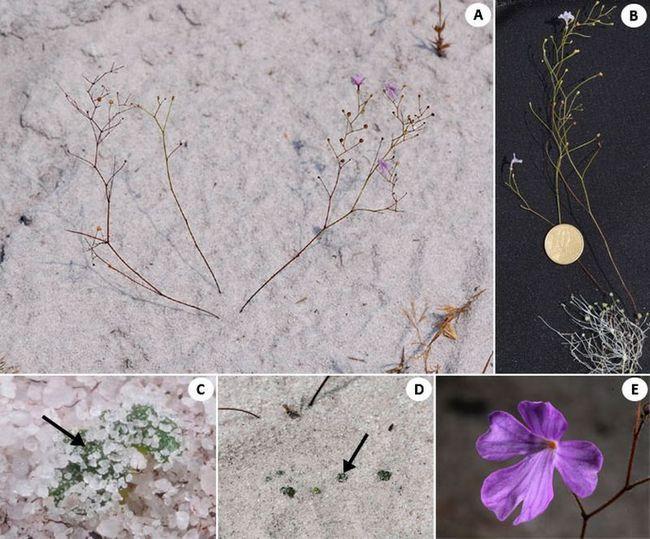 Philcoxia minensis растет в почвах с недостатком азота