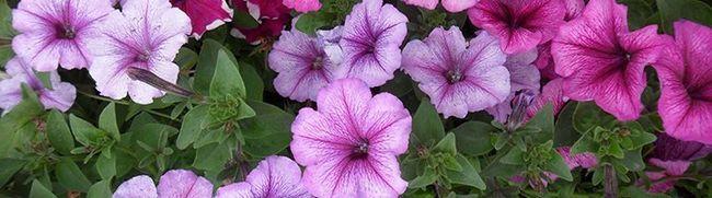 Cvijet krevet petunija - sadnica uzgoj i sjetve sjemena
