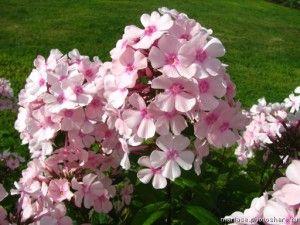 Phlox i ruže
