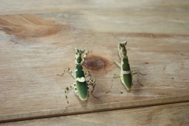 Цветочный богомол - один из самых крупных хищных насекомых в своем отряде.