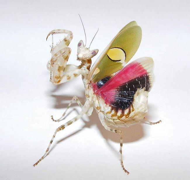 Самка цветочного богомола выделяет специальный пенящийся секрет, затвердевающий на воздухе, и необходимый для строительства оотеки.