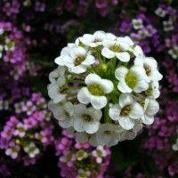 Cvijeće alissum