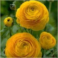 Cvijeće trajnice