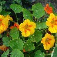 Cvijeće potočarka