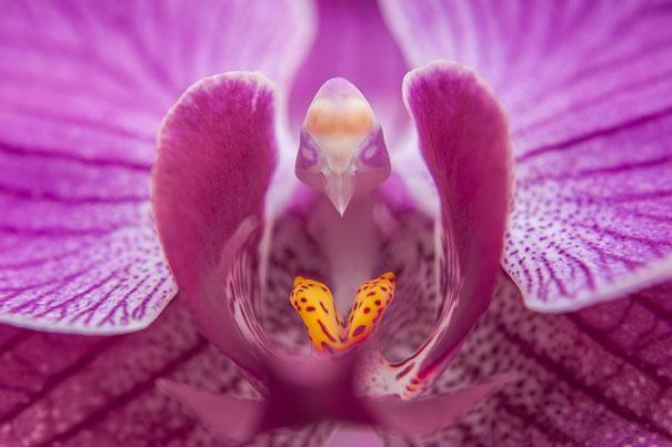 Cvijeće-look-kao-životinje-ljudi-majmuna-orhideje-pareidolia