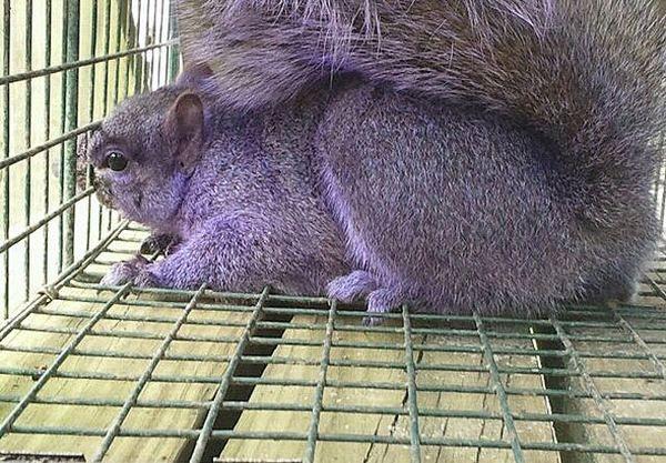 Фиолетовая белка была поймана в пенсильвании