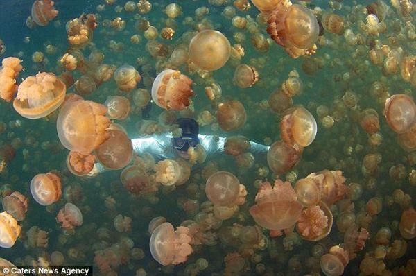Potápění s medúzami u medúzy Lake (Jellyfish Lake)