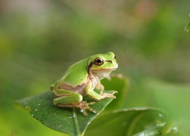 Ďaleko žaba (Hyla japonica).