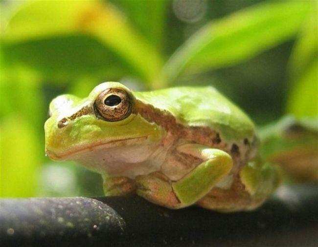 Far Eastern žaby žijú aspoň 6 rokov.
