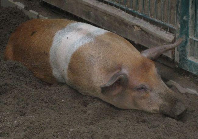 Danski protest svinja (datumi. Husum protestsvin)