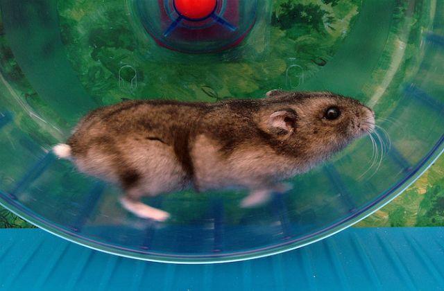 Даже дикие мыши не прочь побегать в колесе