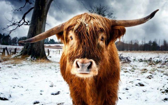 Zašto svi misle da bikovi su agresivni u crvenu limenku naprotiv - oni to traže?