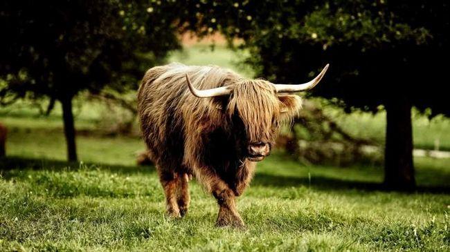 Veličini pojave bika uplašiti svakoga ko će se suočiti sa ovim životinjama.