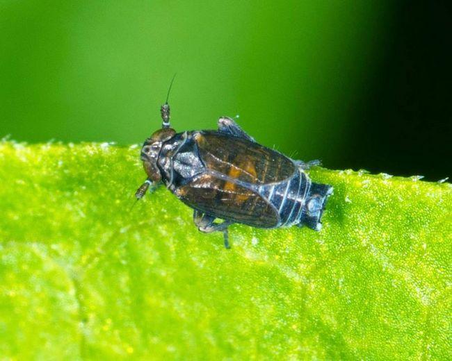Alebo svinushki Planthopper (Delphacidae).