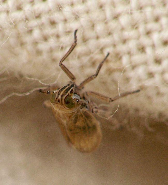 Niektoré druhy křísek sú prenášačmi chorôb obilnín.